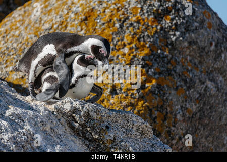 Two African penguins, Spheniscus demersus, on a rock mating, at Simonstown, South Africa - Stock Image
