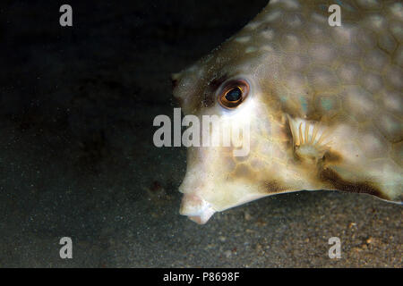 Close-up of a Humpback Turretfish (Tetrosomus gibbosus). Anilao, Philippines - Stock Image