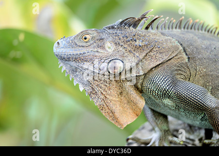 A green iguana in profile. - Stock Image
