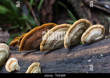 mushrooms growing on tree trunk in Colombia - Stock Image