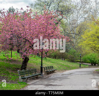 Central Park, Manhattan, New York City in spring with cherry trees - Stock Image