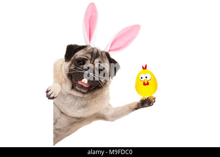 funny easter pug dog with rabbit teeth, whiskers and ears holding up chicken, isolated on white background - Stock Image