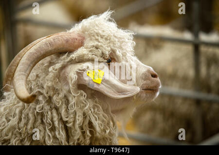 An angora goat looks out from it's pen at the DEvon County Show - Stock Image