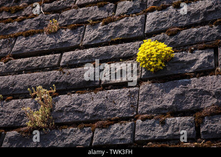 stonecrop (Sedum) on a basalt facade of the flood pumping station at the river Rhine in Koeln-Niehl, the vegetation of the wall with moss and other pl - Stock Image