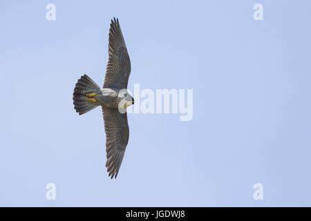 Peregrine falcon, Falco peregrinus, Wanderfalke (Falco peregrinus) - Stock Image