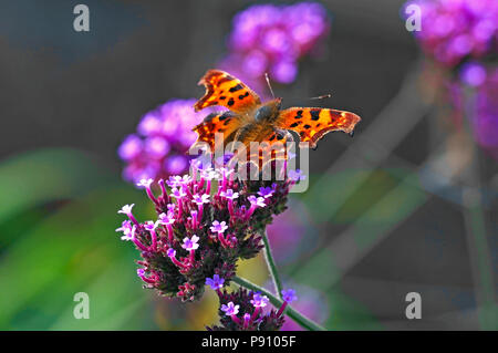 The Comma butterfly in a country cottage garden - Stock Image