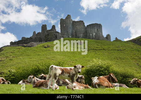 Durham Longhorn cattle grazing at foot of Carreg Cennen Castle, Black Mountains, Carmarthenshire, South Wales - Stock Image