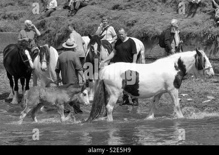 Appleby horsefair, horses being washed in the river Eden - Stock Image