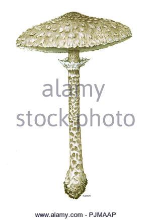 parasol mushroom macrolepiota procera giant mushroom mushroom - Stock Image