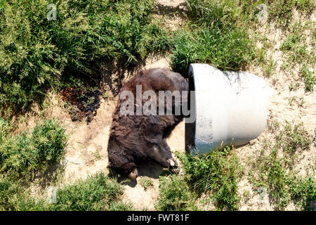A black bear sleeps outside next to his den fashioned from pipes and a buried shipping container at The Wild Animal - Stock Image