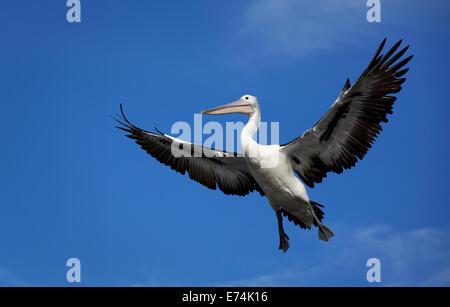 Pelican, Queenscliff VIC Australia - Stock Image