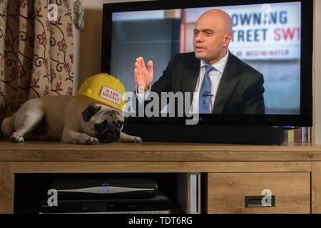 Mousehole, Cornwall, UK,. 18th June 2019. Titan the Pug getting depressed watching the UK Conservative leadership debate on BBC with Boris Johnson participating. Credit Simon Maycock / Alamy Live News. - Stock Image