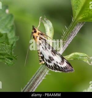 European Small Magpie Moth (Anania hortulata) - Geometridae - Stock Image