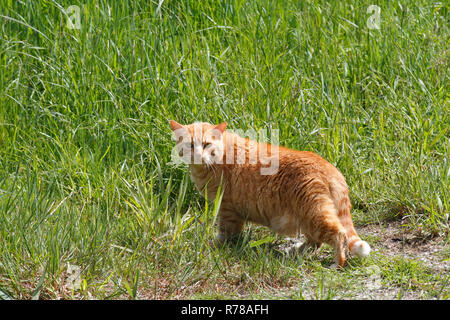Domestic cat, orange tabby, hunting in a meadow in spring, Saxony-Anhalt, Germany - Stock Image