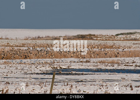 European Teal (Anas crecca crecca) on coastal marsh during winter snow in Great Britain - Stock Image