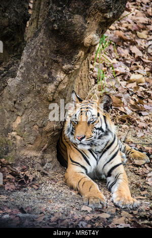 Vertical portrait of a two year old male Bengal Tiger, Panthera tigris tigris, Bandhavgarh Tiger Reserve, Madhya Pradesh, India - Stock Image