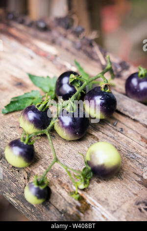 Black tomatoes picked from the garden in summer - Stock Image