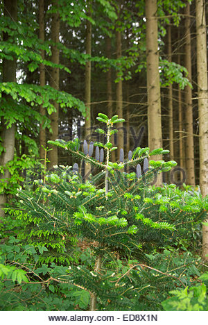 Abies balsamea — AKA Tyler Blue or Balsam Fir — with distinctive upright blue cones is growing in a forest in northern - Stock Image