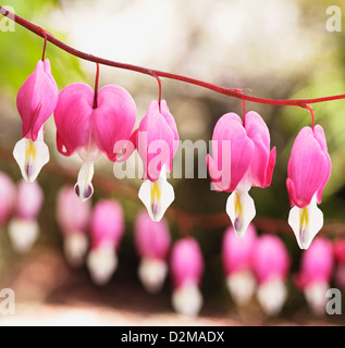 Bleeding Hearts Flowers - Stock Image
