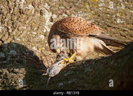 female adult Common Kestrel, Falco tinnunculus, with Bank Vole, Myodes glareolus, as prey, Hampstead Heath, London, United Kingdom - Stock Image