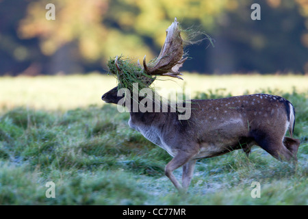 Fallow Deer (Dama dama), Buck Displaying with Grass on Antlers during the Rut, Royal Deer Park, Klampenborg, Seeland, - Stock Image