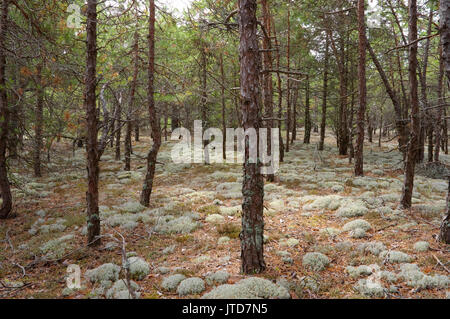 Kihnu Island Pine Forest. Estonia. 5th August 2017 - Stock Image