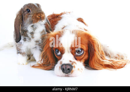 Dog and rabbit together. Animal friends. Rabbit bunny pet white fox rex satin real live lop widder nhd german dwarf - Stock Image