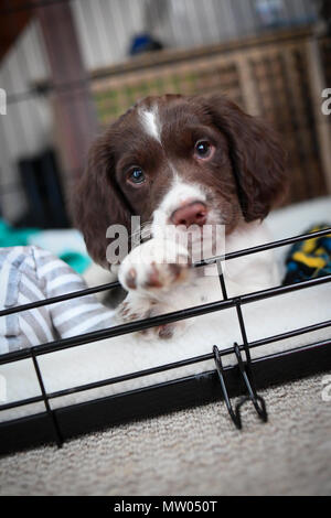 A 8 week old English springer spaniel puppy at home in her crate safe place. - Stock Image