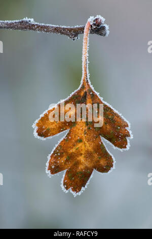 Oak Leaf (Quercus petraea) covered in frost on the end of small branch in winter. Tipperary, Ireland - Stock Image