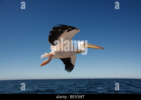 Great White Pelican (Pelecanus onocrotalus) in Sandwich Bay on the coast of Namibia - Stock Image