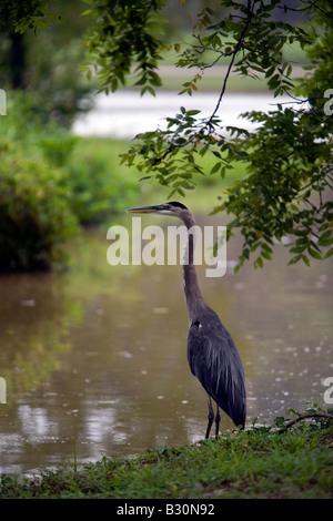 A great blue heron on the bank of Lake Bella Vista in Bella Vista, Ark., U.S.A. - Stock Image
