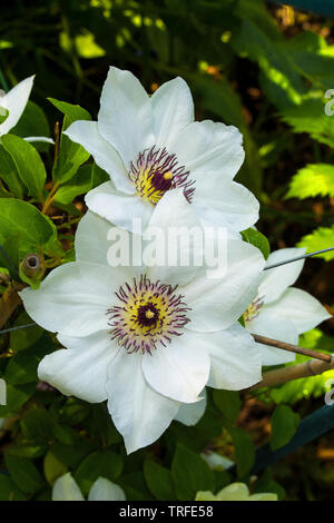 Flowers on a white clematis plant in north east Italy - Stock Image