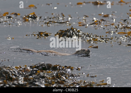 Eurasian otter (Lutra lutra) swimming close inshore. Shetland Islands. June. - Stock Image