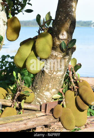 Jackfruit (Artocarpus heterophyllus) grow beside Lake Victoria. Entebbe, Uganda. - Stock Image