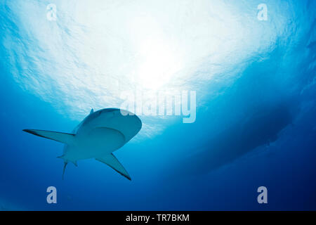 Caribbean Reef Shark (Carcharhinus perezi) Approaching, with Surface and Boat above. Tiger Beach, Bahamas - Stock Image