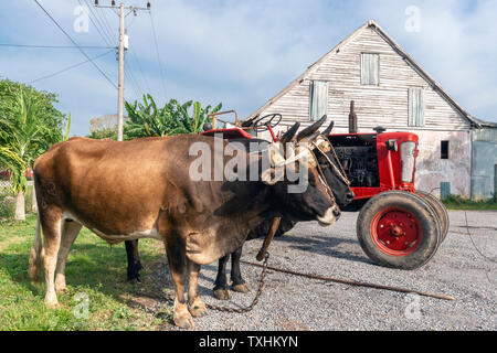 Pair of oxen standing in front of a tobacco drying shed on a farm in the rural village of San Juan y Martinez, Pinar del Rio Province, Cuba - Stock Image
