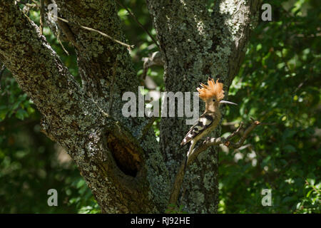 Hoopoe, Latin name Upupa epops, perched on a branch next to its nest with crest raised - Stock Image