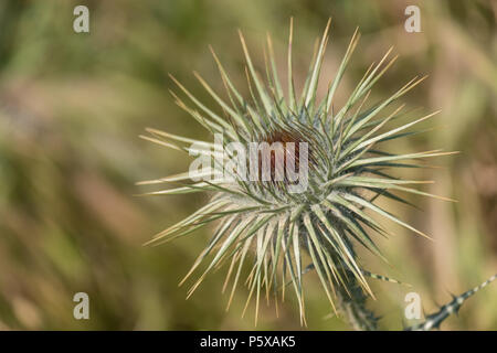 Thorny Thistle with Burnt Edges from the Greek Sun, Saronida, Greece - Stock Image