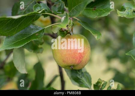 James Grieve apple tree in Scotland. - Stock Image