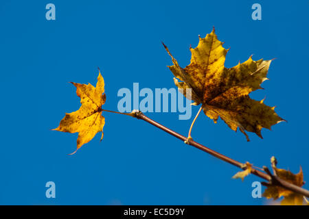 autumnal maple leaf in front of blue sky - Stock Image