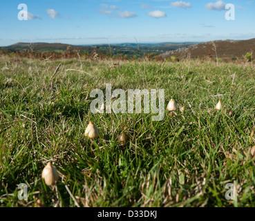 Magic mushrooms growing in Britain - Stock Image