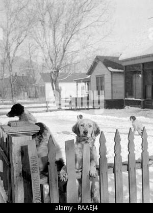 Five dogs guard the picket fence boundary of a home in Colorado, ca. 1930. - Stock Image