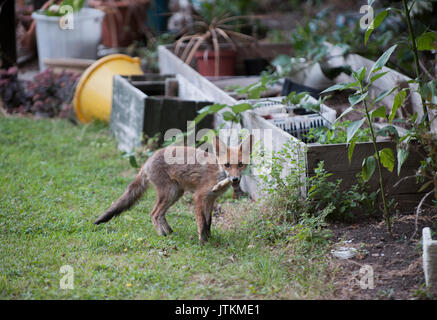 Red Fox cub, Vulpes vulpes, in a garden, London, United Kingdom - Stock Image