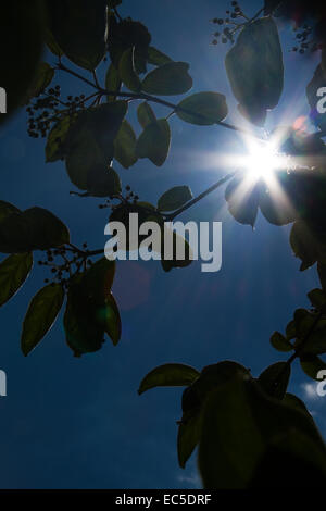 sun behind leaves - Stock Image