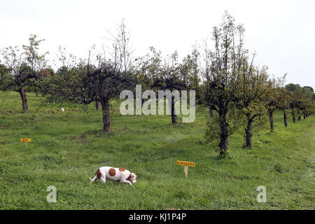 Dog exploring pear orchard, Claverack, NY, USA - Stock Image