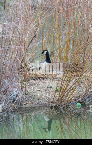 Female Canada goose (Branta canadensis) on nest incubating eggs. Nest area is surrounded by water of creek for protection. Castle Rock Colorado US - Stock Image