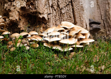 Wild mushrooms fungi growing on an old dead tree - Stock Image