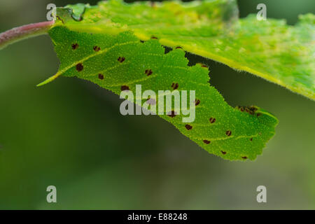 Poplar hawkmoth (Laothoe populi) larva resting under the leaf Llanymynech Wales UK Europe August - Stock Image