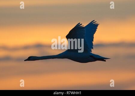 Pevensey Levels, UK. 11th Dec 2018.UK weather. A Mute swan flies at sunset on the Pevensey Levels after a cold but bright day in East Sussex, UK. Credit: Ed Brown/Alamy Live News - Stock Image