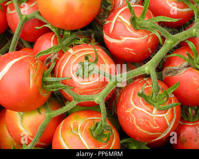 Tomatoes: fruit splitting and cracking. Although easy to grow, tomato fruits can suffer from splitting and cracking in late summer. This is difficult to prevent, as it is caused by fluctuating temperatures and water supply - which are often out of the control of the gardener. - Stock Image